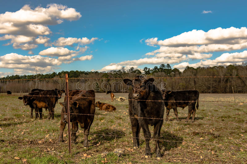 Angus calf looking curiously in springtime pasture. Black Angus crossbred calf looking at the camera with other calves in the same springtime pasture stock photos