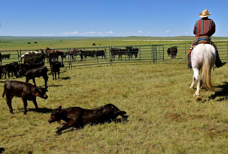 Angus calf roped by the hind feet in a roundup. A black Angus calf is roped by the hind feet during a roundup and branding session stock photos