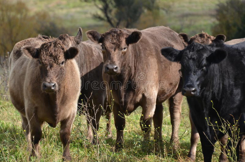 Angus Cattle. A small herd of angus and angus cross cattle keenly aware oft the photographer royalty free stock images