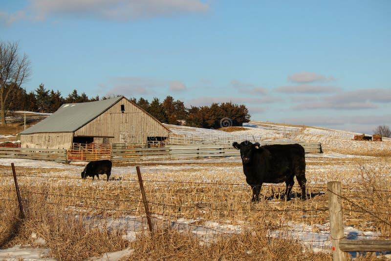 Angus Cattle royaltyfria foton