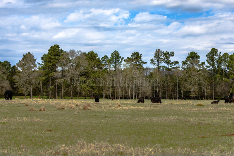Angus cattle on March pasture background. Angus beef cattle grazing on early March pasture in Alabama stock image