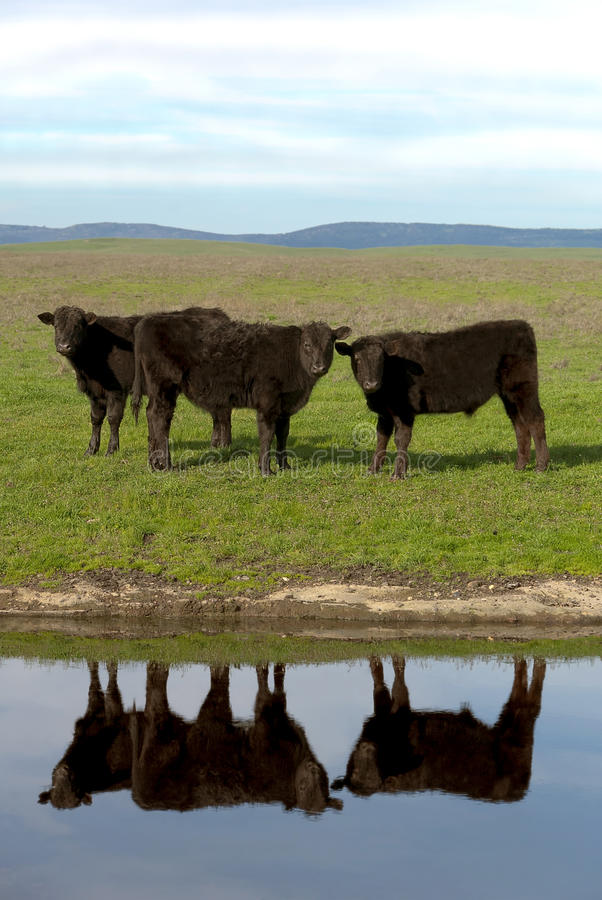 Angus Cattle negro imagenes de archivo