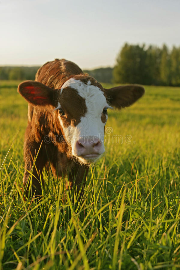 Angus Cow Calf stock image