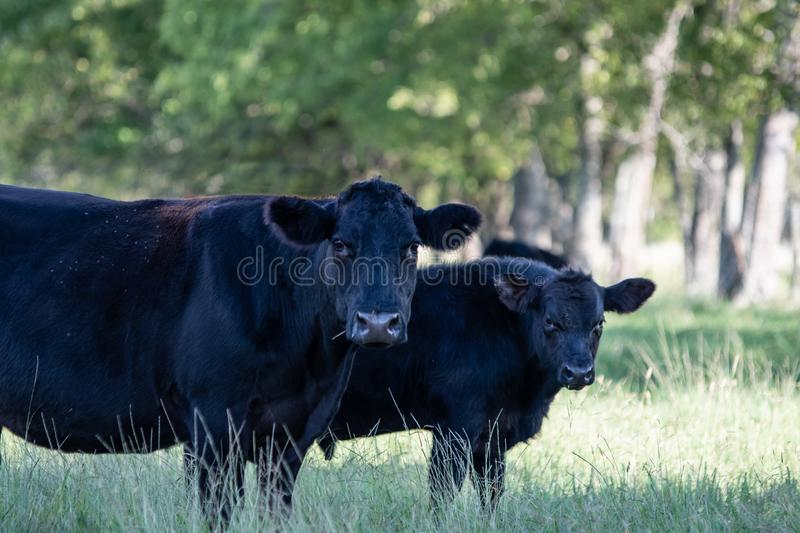 Angus cow and calf under tree looking at camera. Black Angus crossbred cow and calf standing in the shade under trees looking at the camera stock images