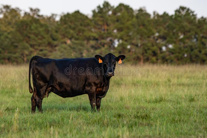 Angus cow green background. Angus crossbred cow standing in a pasture looking at the camera with green background stock photo