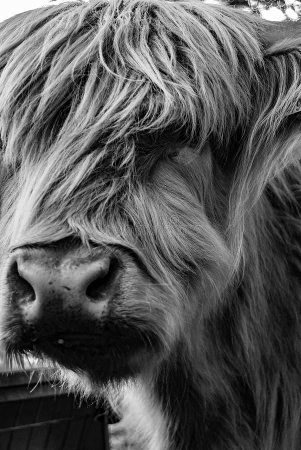 Angus Cow Looking på tittaren royaltyfri bild