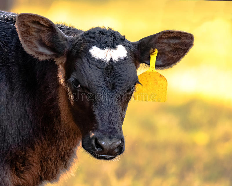 Angus crossbred calf head and neck royalty free stock photography