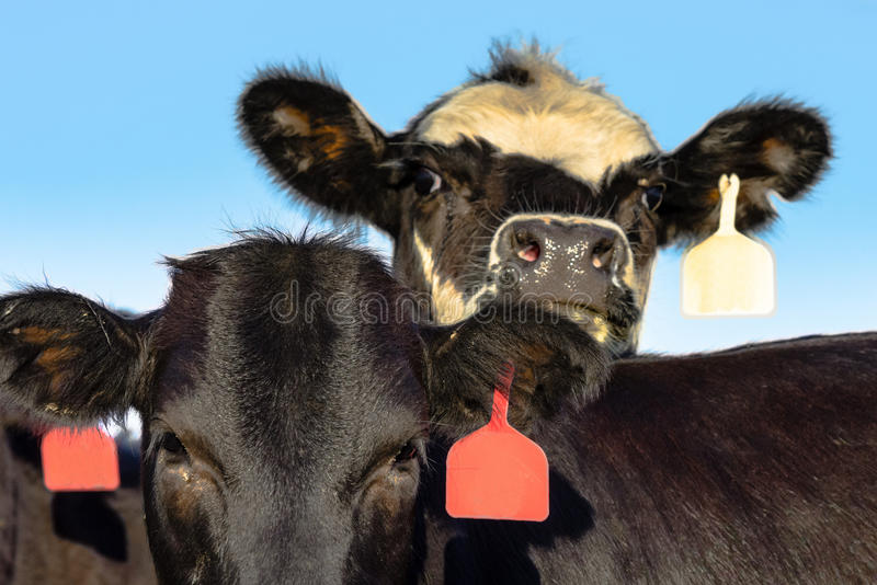 Angus crossbred heifer faces. With blue sky background stock image