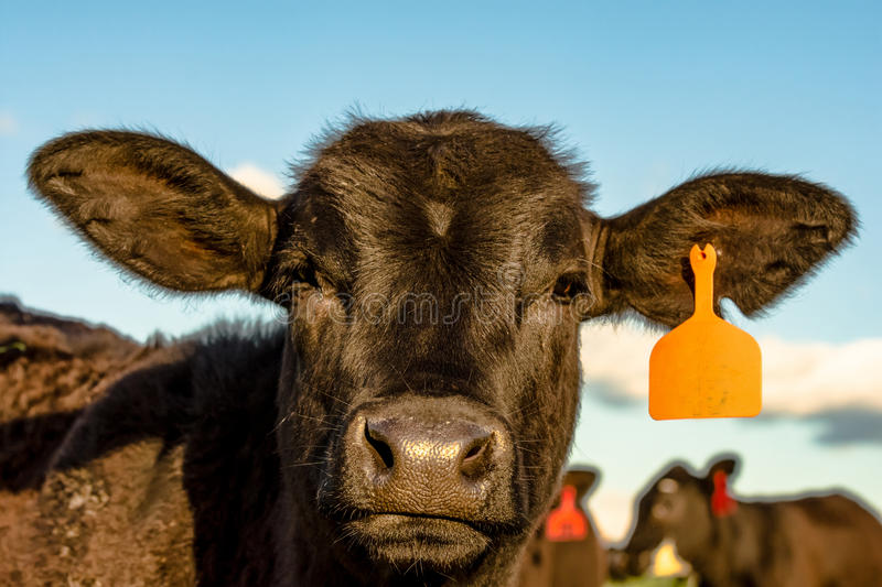 Angus heifer close up. Close up of the face of an Angus crossbred heifer with blue sky background stock photography