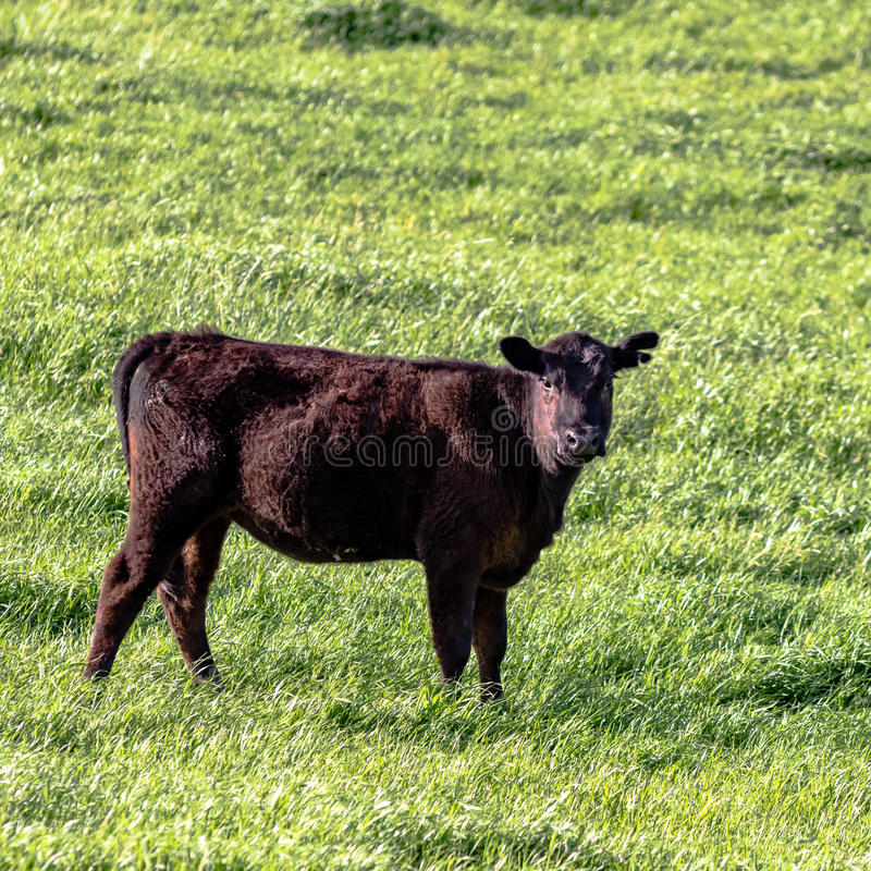 Free Angus Heifer - Square Royalty Free Stock Image - 90696756