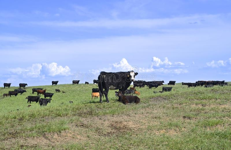 Angus herd grazing in a pasture. A herd of black Angus beef cattle graze and move across a hilly pasture royalty free stock photo