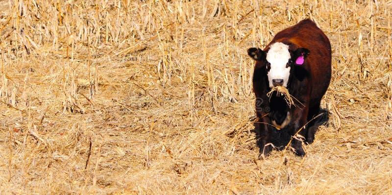 angus krowa obrazy stock
