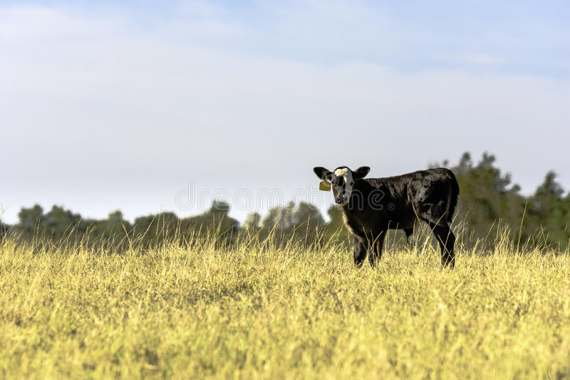 Angus kruist kalf op gebied van lang gras stock foto