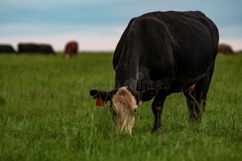 Angus kruist koe weidende sterke drank bermudagrass stock foto's