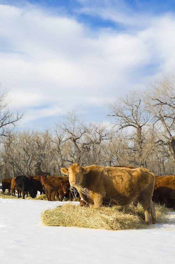 Angus-Kuh isst Heu während des Winters stockbilder