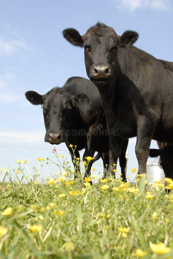 Angus y flores negros imagen de archivo