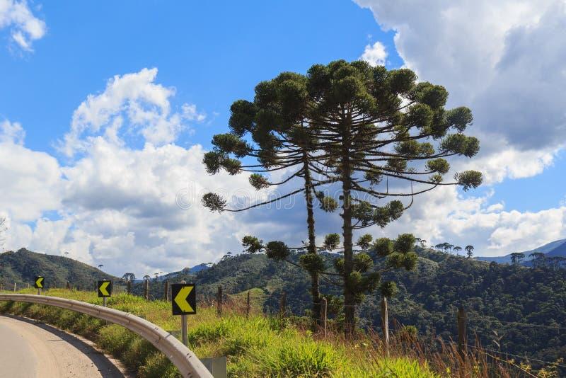 Angustifolia de la araucaria (pino brasileño) cerca del camino imágenes de archivo libres de regalías