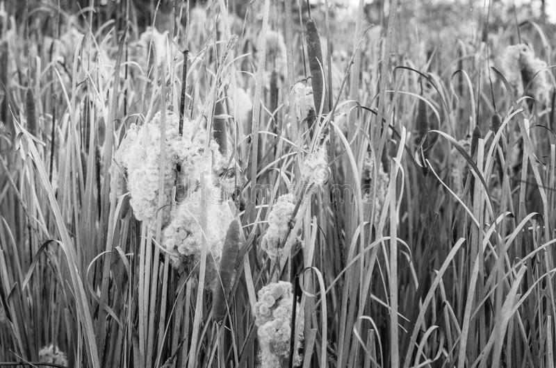 Angustifolia de typha dans le domaine de la nature photos stock