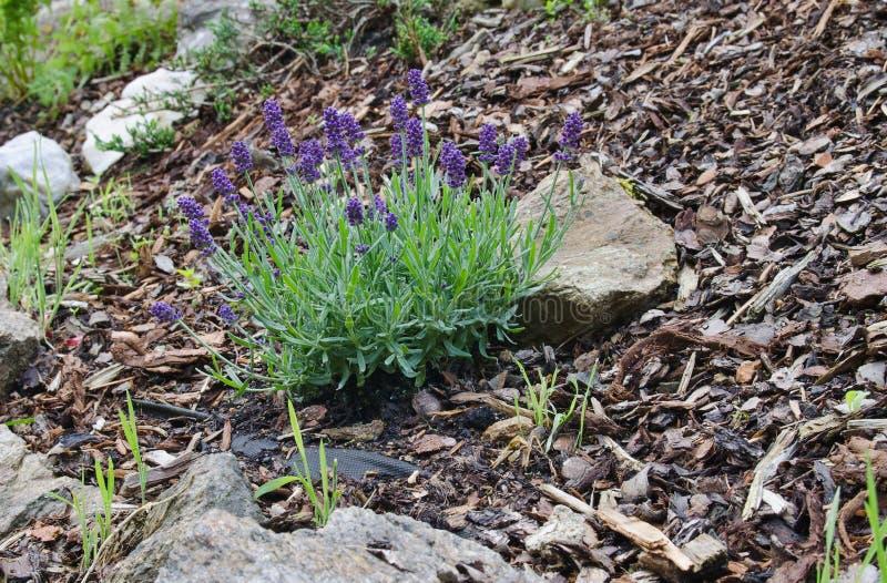 Angustifolia del Lavandula en el jardín foto de archivo