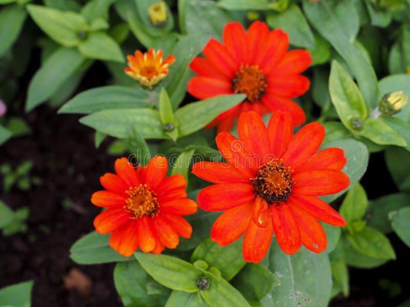 Angustifolia di zinnia o zinnia, fiori sboccianti immagine stock