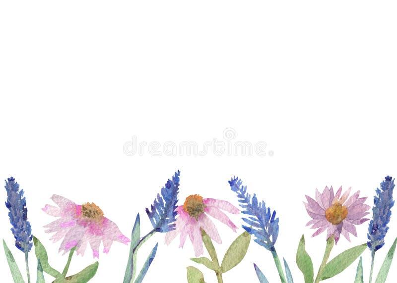Angustifolia do Echinacea e bandeira roxa da aquarela da alfazema das flores cor-de-rosa do Echinacea isoladas no fundo branco ilustração stock