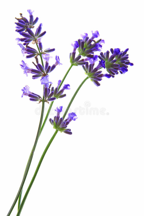 Angustifolia do Lavandula fotos de stock