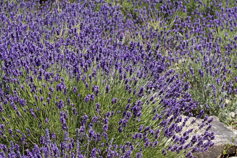 angustifolia pospolita lavandula lawenda obrazy stock