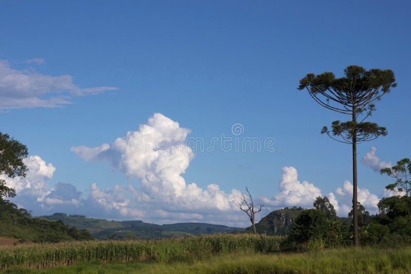 Angustifolia Tamarana Brésil d'araucaria d'arbre d'araucaria photos libres de droits