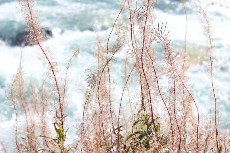 Angustifolium Chamaenerion Sauce-hierba Suiza, montan@as foto de archivo