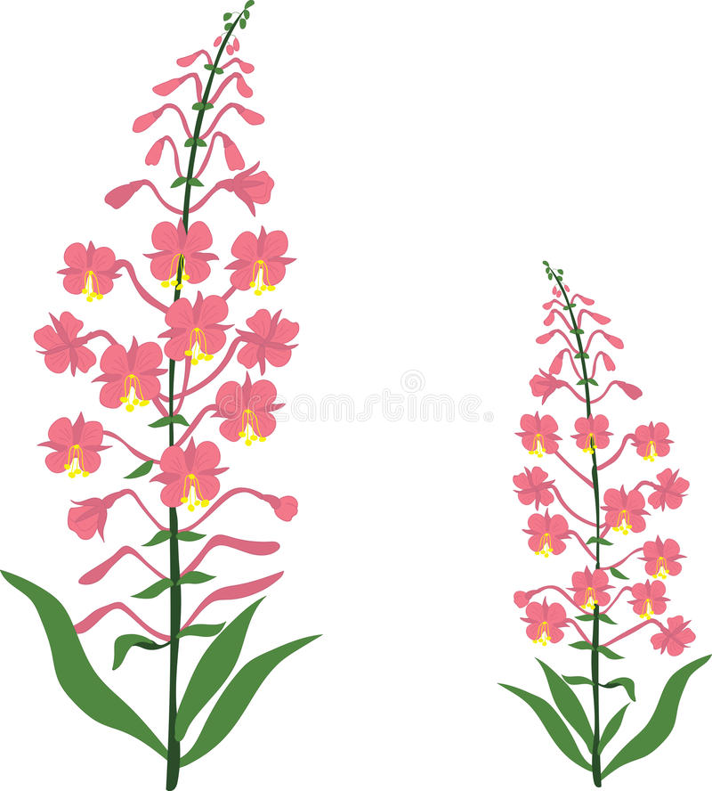 Angustifolium, chamaenerion, Willow tea herb, sally-bloom flower, Illustration, isolated royalty free illustration