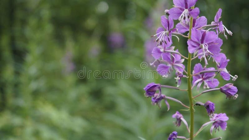 Angustifolium de Chamaenérion na floresta imagem de stock