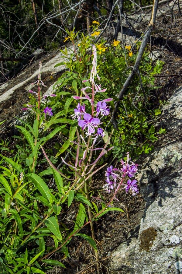 Angustifolium de Chamaenerion de las flores de las flores imagen de archivo libre de regalías