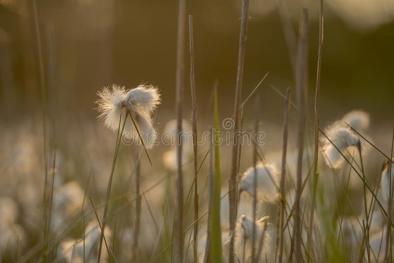Angustifolium do Eriophorum de Cottongrass imagens de stock royalty free