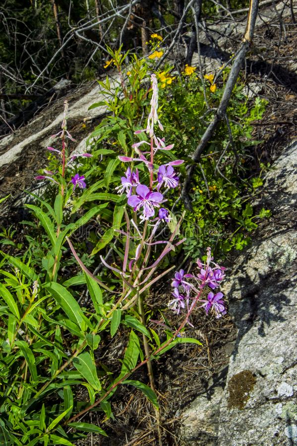 Angustifolium van Chamaenerion van bloemenbloemen royalty-vrije stock afbeelding