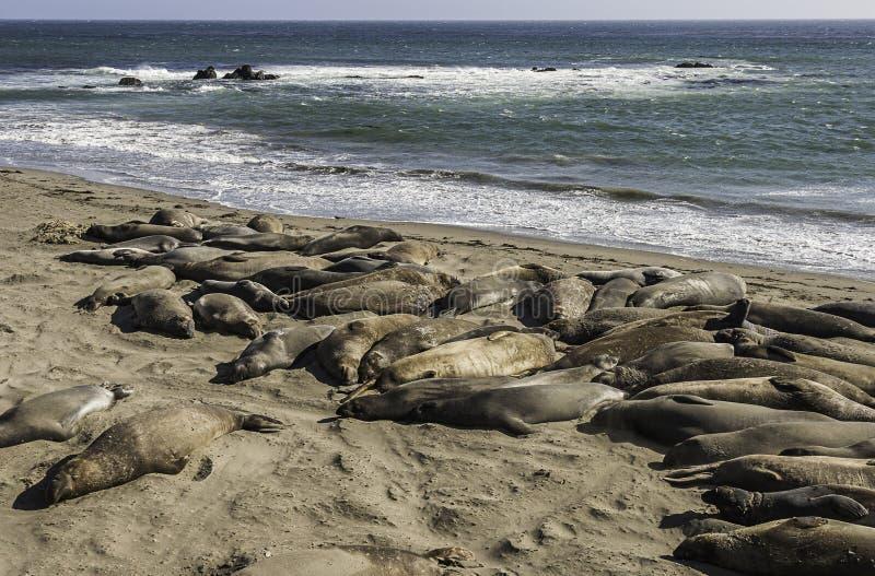 Angustinostris mirounga уплотнений слона спать в beac песка стоковые изображения rf