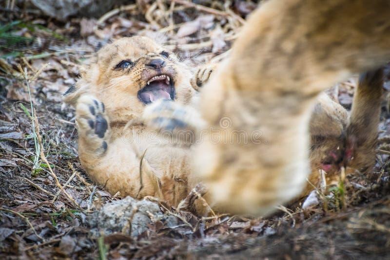 Angry baby lion Panthera leo stock photo