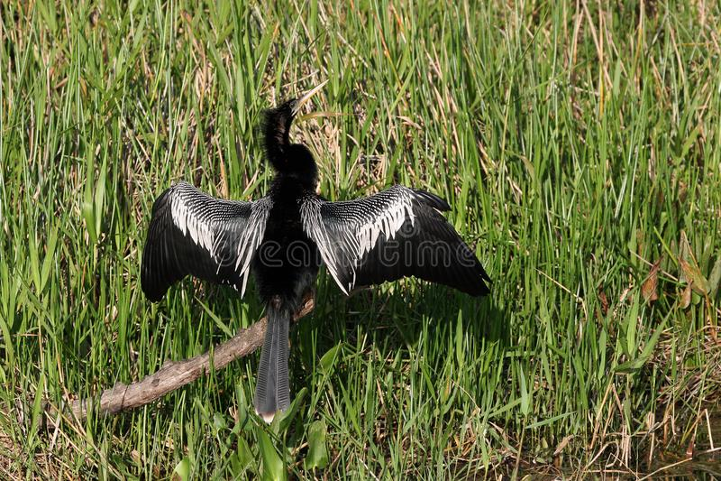 Anhinga, εθνικό πάρκο Everglades, Φλώριδα στοκ φωτογραφία