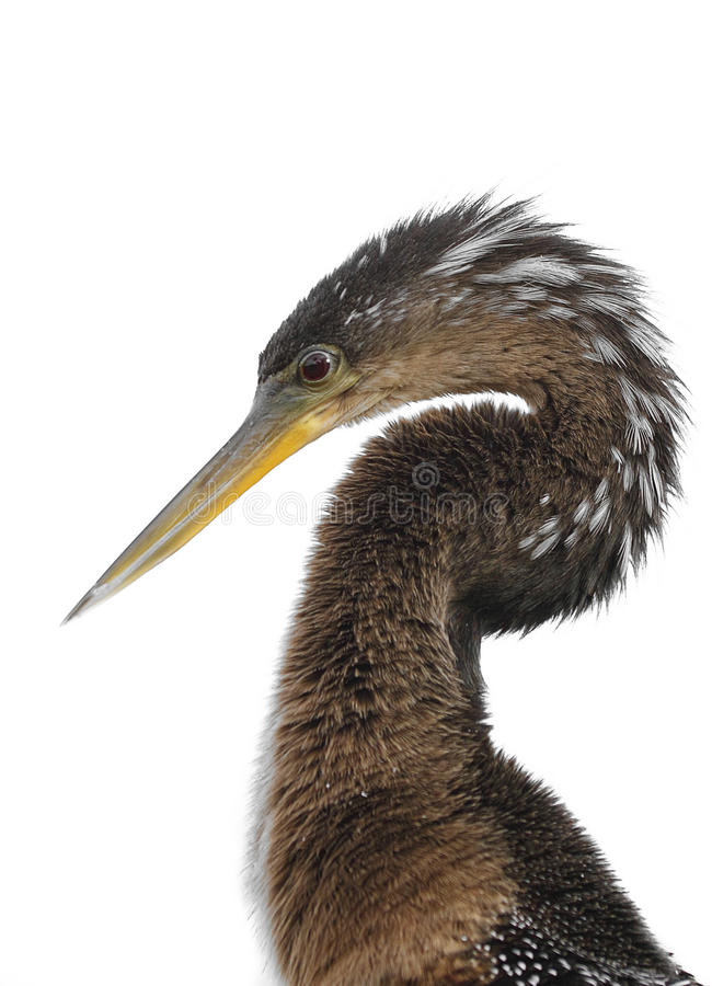 Download Anhinga (Anhinga anhinga) stock image. Image of darter - 12417543