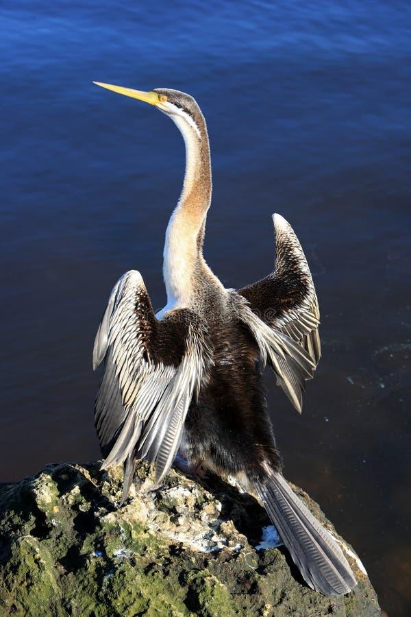 Anhinga, Australie photographie stock libre de droits