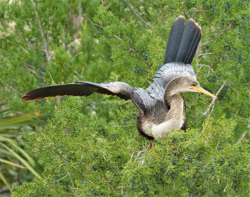 Anhinga behoort tot een orde van vis-etende waterbirds die pelikanen, jan-van-gent, aigrettes, ibissen en cormo omvat royalty-vrije stock fotografie
