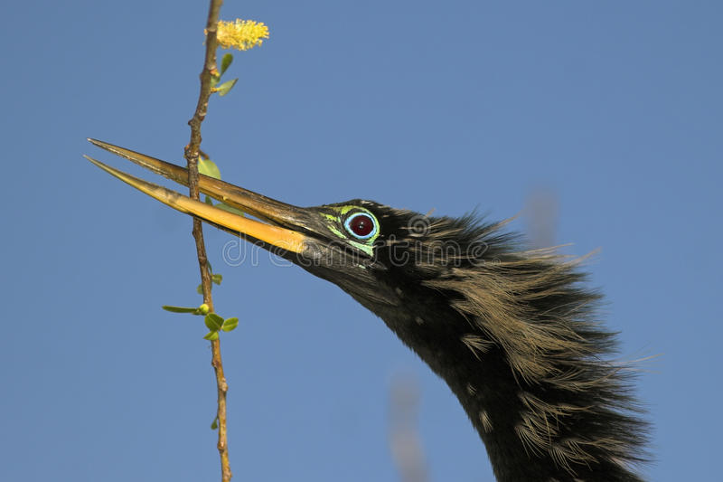 Anhinga Bird Building a home. A telephoto closeup of male Anhinga with a branch in its bill while buillding a nest. The beautiful turqoise ring around his ruby stock images