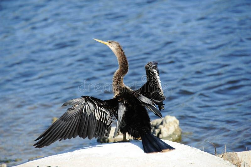 Anhinga bird drying wings stock photos