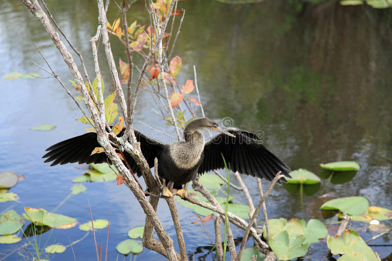 Anhinga bird at Everglades National Park. Anhinga bird everglades state national park florida usa stock images