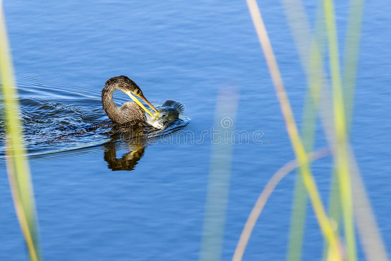 Anhinga con los pescados imagen de archivo