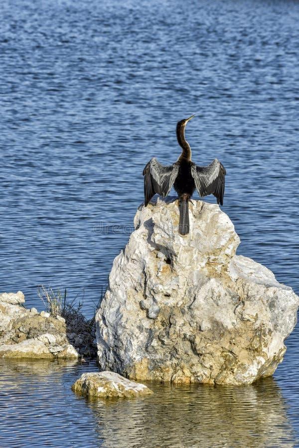 Anhinga der Teufel-Vogel lizenzfreie stockfotos