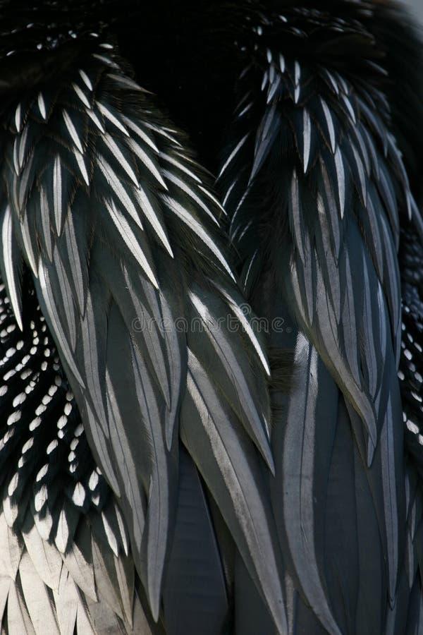 Anhinga feathers stock photos