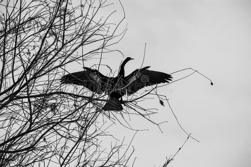 Anhinga femelle séchant ses ailes photos stock