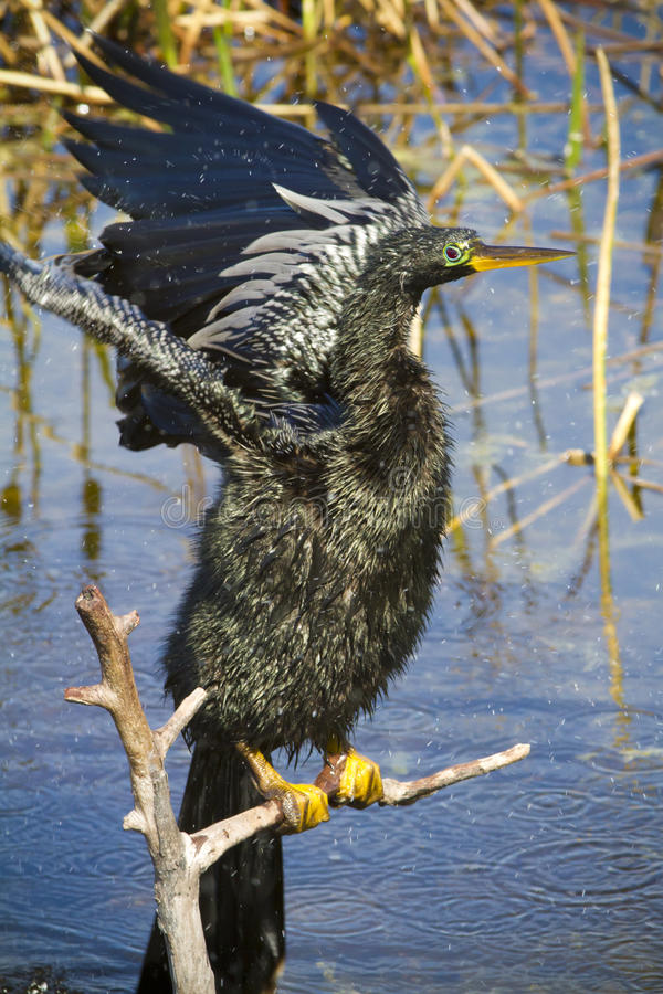 Anhinga flapping its wings to dry up royalty free stock image