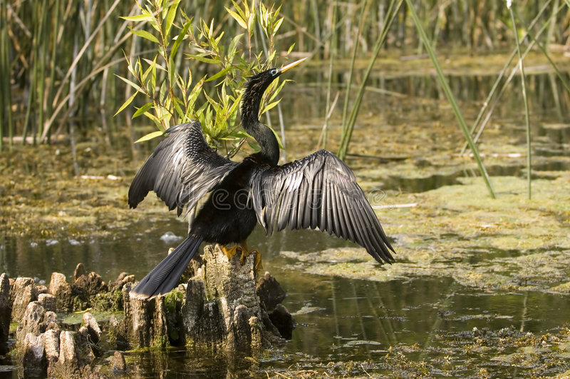 Download Anhinga in a florida swamp stock image. Image of bird - 1198499