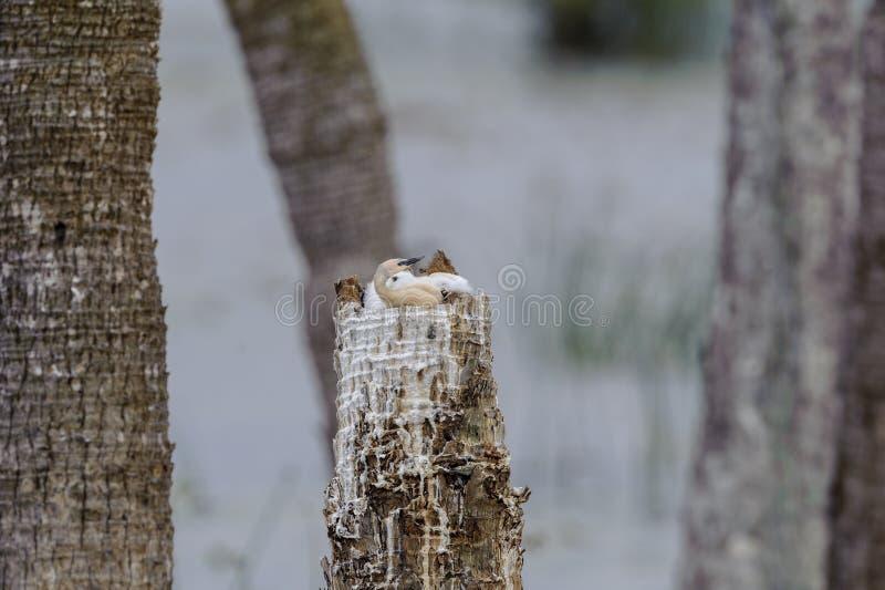 Anhinga gniazdowniki w drzewnym fiszorku fotografia royalty free
